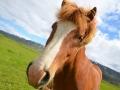 Islandské-kone-sú-pre-krajinu-typické-Island-Hromnikova-Janka